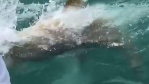 Гигантская рыба проглотила акулу и попала на видео - Sputnik Таджикистан