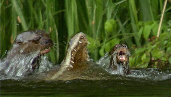 Как выдры убили крокодила, который на них напал - Sputnik Таджикистан