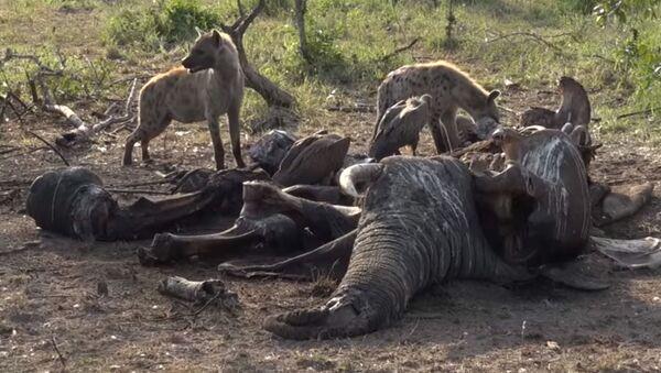 Что случается с огромным слоном после его смерти в дикой природе – видео - Sputnik Таджикистан