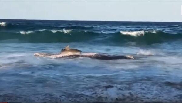 Акула накинулась на мертвого кита и чуть не поплатилась за это - Sputnik Таджикистан