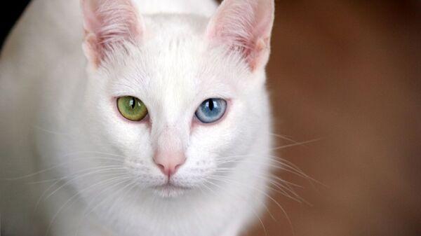 Кошка породы Као-мани - Sputnik Таджикистан