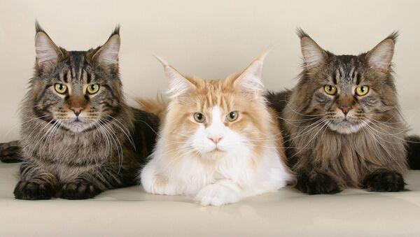 Кошки породы Мейн-кун - Sputnik Таджикистан