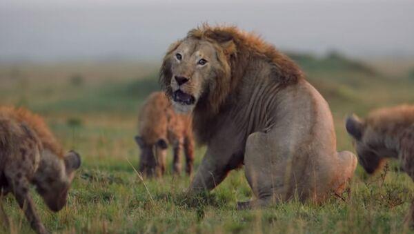 Гиены загнали льва в угол - Sputnik Таджикистан