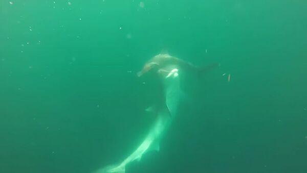 Рыбаки сняли на видео схватку тигровой акулы с рыбой-молотом - Sputnik Таджикистан
