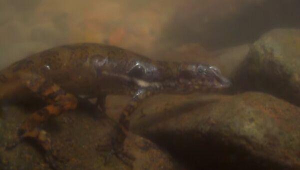 Ученые впервые засняли, как ящерицы дышат под водой - Sputnik Тоҷикистон