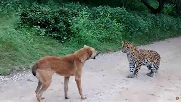 Нападение леопарда на собаку: видео - Sputnik Таджикистан