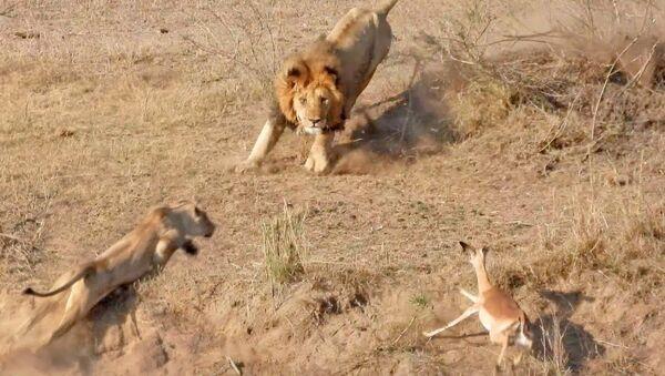 Царь зверей перепутал львицу с антилопой и сорвал охоту — видео - Sputnik Тоҷикистон