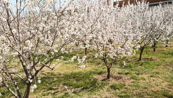 Яблоневый сад - Sputnik Таджикистан