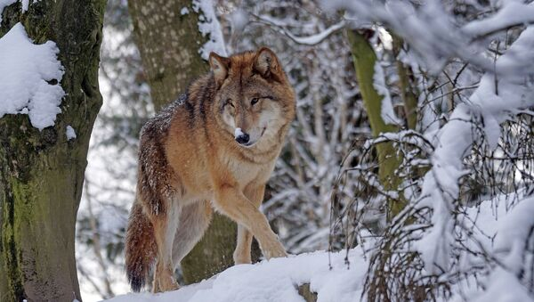 Волк в лесу, архивное фото - Sputnik Таджикистан
