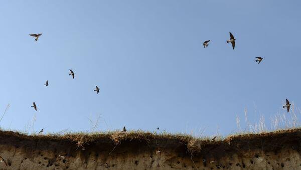 Стая береговых ласточек возле своих гнезд - Sputnik Таджикистан