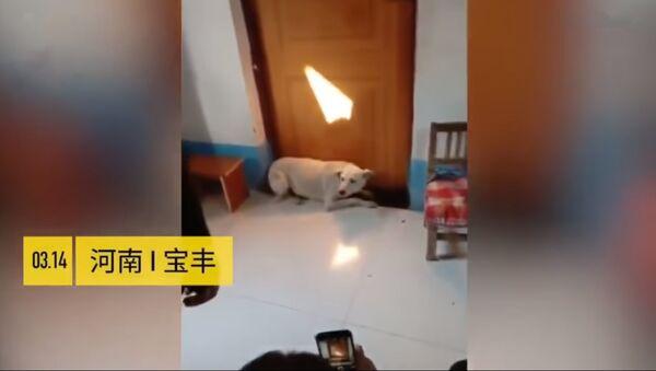 Собака не давала жениху пройти в комнату невесты - Sputnik Таджикистан