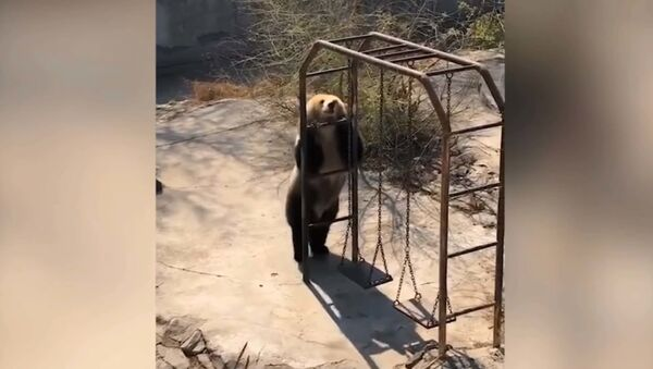 Медведь-пищухоед пустился в пляс в честь теплой погоды и попал на видео - Sputnik Таджикистан