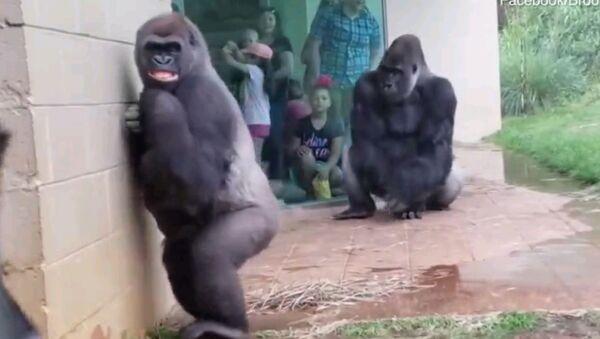 Как вы выглядите, когда начинается ливень - смешное видео с гориллами - Sputnik Таджикистан
