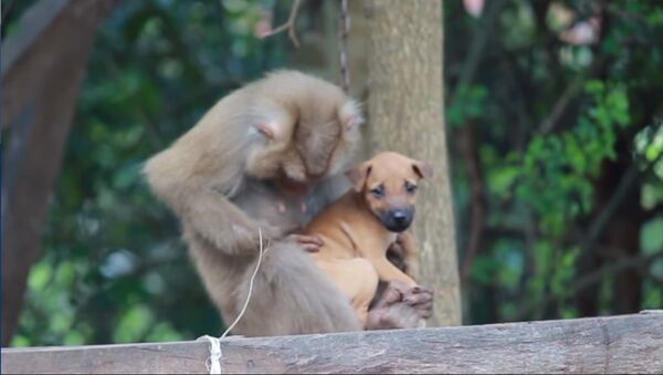 Мама обезьяна заботится о щенке - видео - Sputnik Таджикистан