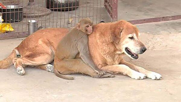 Дружба обезьяны и собаки - видео - Sputnik Таджикистан