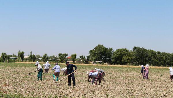 Восстановление хлопковых полей после обильных дождей в Согдийской области - Sputnik Тоҷикистон