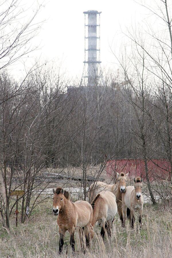 Лошади у саркофага 4-го блока Чернобыльской атомной электростанции - Sputnik Таджикистан