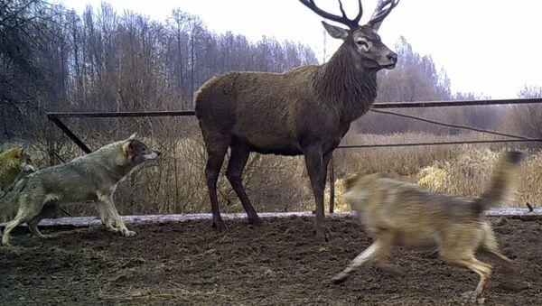 Волки нападают на оленя в зоне отчуждения Чернобыльской АЭС. - Sputnik Таджикистан