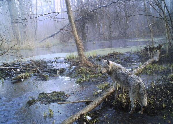 Волк в зоне отчуждения Чернобыльской АЭС - Sputnik Таджикистан