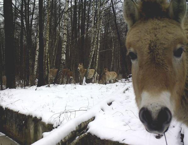 Дикие лошади в зоне отчуждения Чернобыльской АЭС. - Sputnik Таджикистан