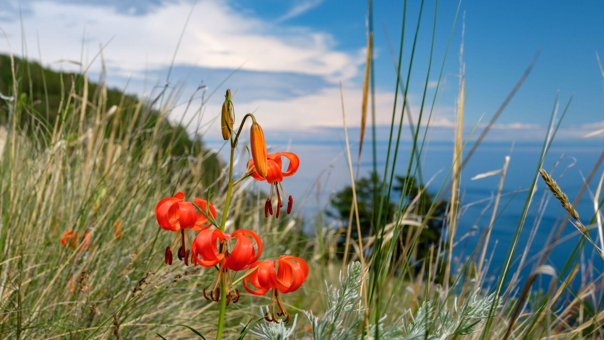 Цветы, растущие на острове Ольхон на озере Байкал в Иркутской области - Sputnik Таджикистан, 1920, 16.04.2021