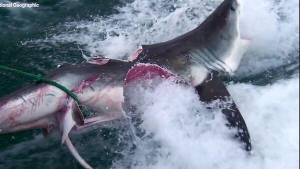 Смертельную битву двух огромных акул сняли на видео ученые  - Sputnik Таджикистан