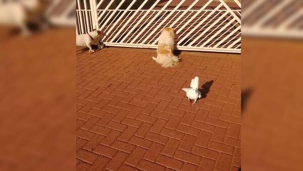 Попугай лает с псами у ворот и стережет дом — забавное видео - Sputnik Тоҷикистон