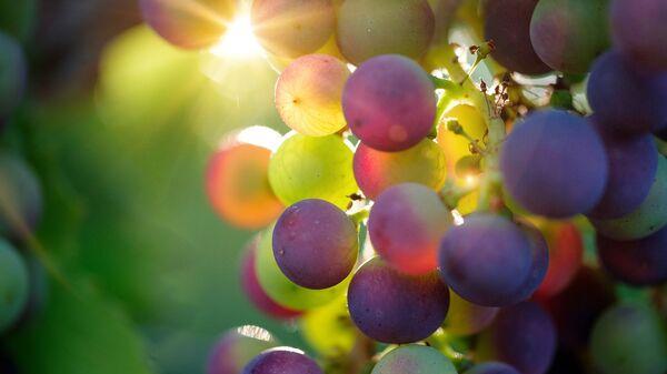 Гроздь винограда на солнце - Sputnik Таджикистан