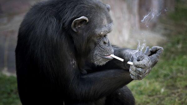 Шимпанзе прикуривает сигарету в зоопарке Пхеньяна, Северная Корея  - Sputnik Таджикистан