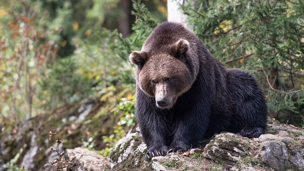 Бурый медведь, архивное фото - Sputnik Тоҷикистон