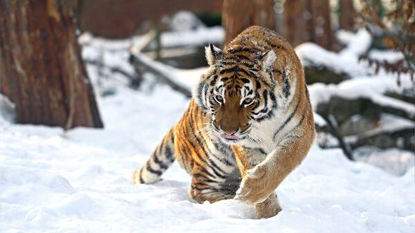Амурский тигр зимой - Sputnik Таджикистан