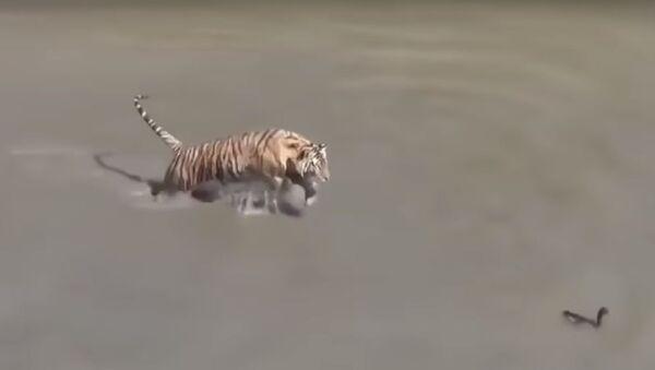 Игры с огнем: отважная утка издевается над тиграми – уморительное видео - Sputnik Таджикистан