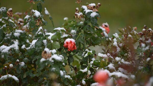 Цветы в снегу, архивное фото - Sputnik Тоҷикистон