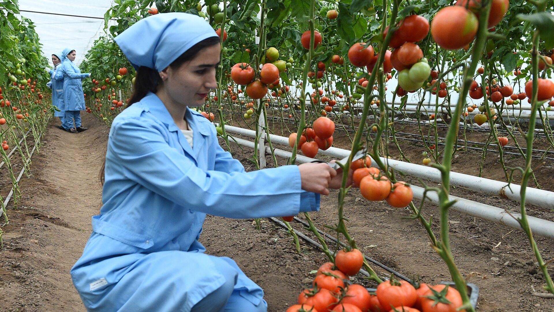 Выращивание помидоров в теплице - Sputnik Тоҷикистон, 1920, 26.04.2021