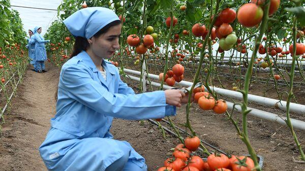 Выращивание помидоров в теплице - Sputnik Таджикистан