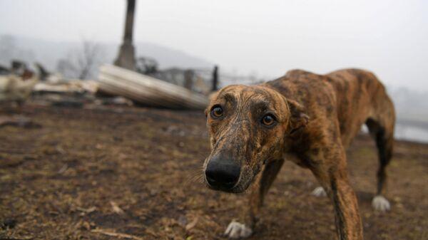 Собака на месте сгоревшего дома в Австралии - Sputnik Тоҷикистон
