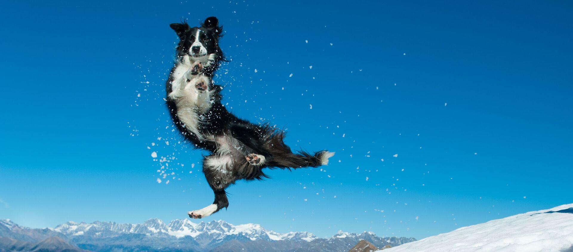 Колли прыгает в снегу - Sputnik Таджикистан, 1920, 19.01.2020