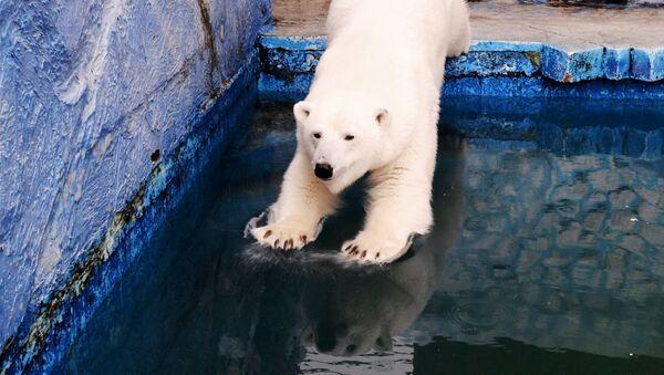 Белая медведица Урсула прыгает в бассейн в красноярском зоопарке Роев ручей - Sputnik Таджикистан
