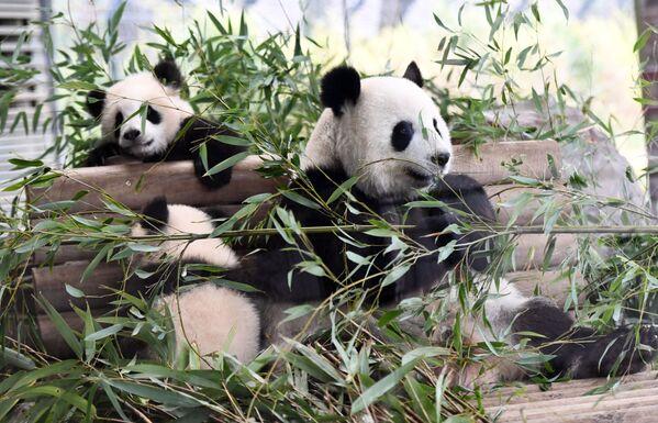 Детеныши панды в зоопарке, Берлин - Sputnik Таджикистан