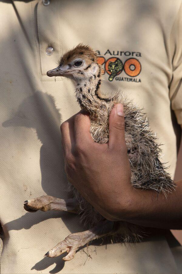 Птенец страуса в руках работника зоопарка в Гватемале - Sputnik Таджикистан