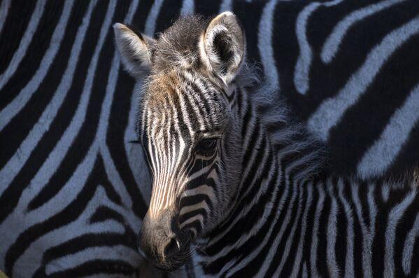 Жеребенок-зебра в зоопарке в Венгрии - Sputnik Таджикистан