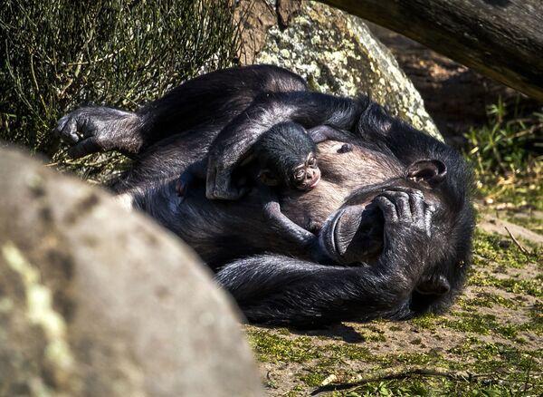 Детеныш шимпанзе в сафари-парк Beekse Bergen, Нидерланды - Sputnik Таджикистан