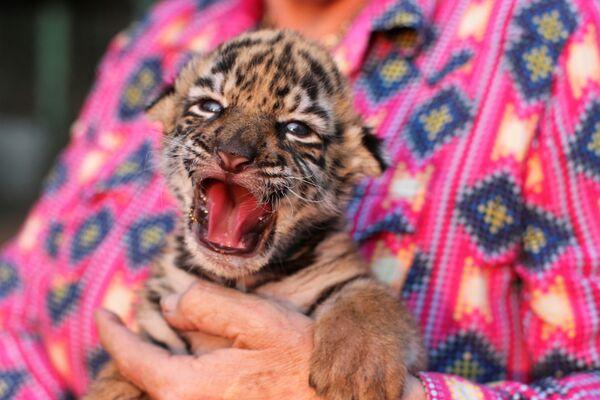 Бенгальский тигренок в зоопарке в Мексике - Sputnik Таджикистан