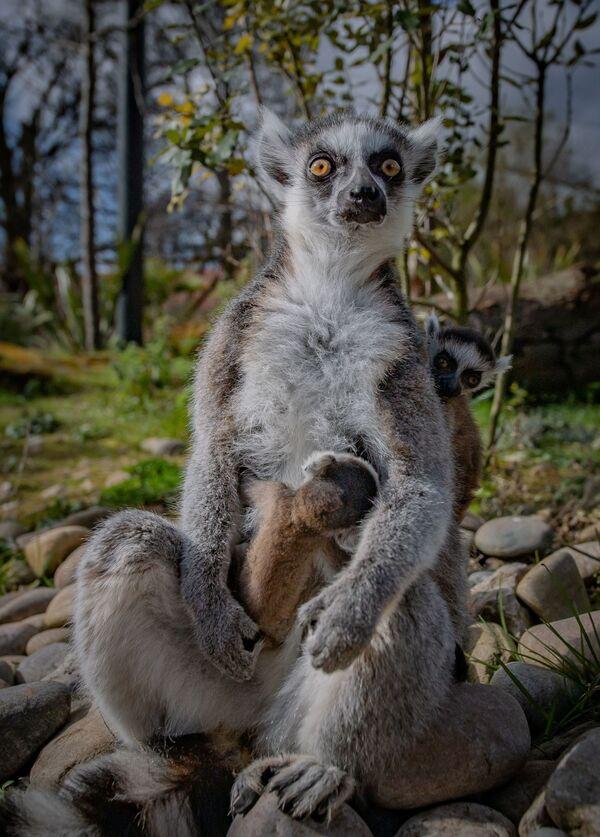 Новорожденные лемуры в Честерском зоопарке, Великобритания  - Sputnik Таджикистан