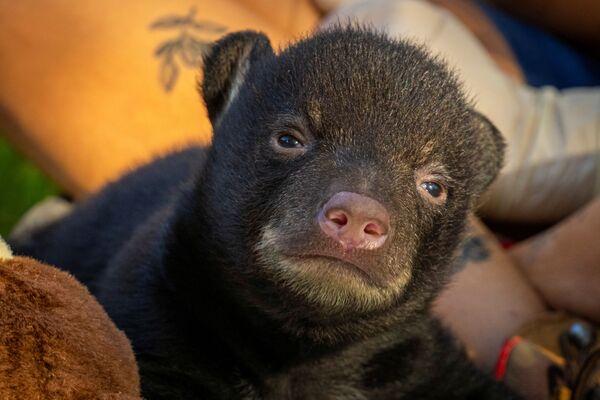 Медвежонок в зоопарке Бревард в Мельбурне, США - Sputnik Таджикистан