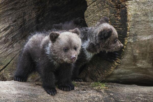 Два медвежонка в музее под открытым небом Скансен в Стокгольме - Sputnik Таджикистан