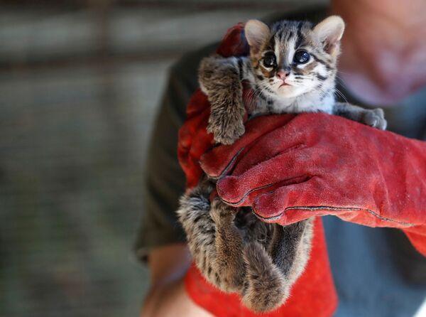 Служащий зоопарка в Дебрецене держит на руках 7-недельного детеныша леопардового кота - Sputnik Таджикистан