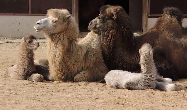 Детеныши двугорбых верблюдов Буря и Шторм в одном из вольеров в Московском зоопарке - Sputnik Таджикистан