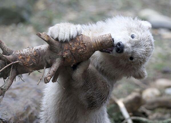 Детеныш полярного медведя в зоопарке Шенбрунн в Вене, Австрия - Sputnik Таджикистан