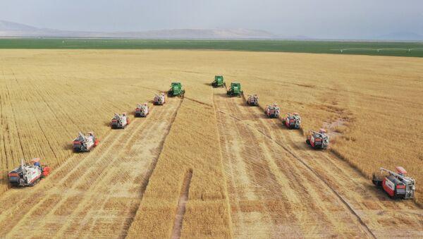 Пшеничное поле в Таджикистане - Sputnik Таджикистан